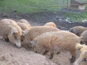 Wollschweine 04.2010 002
